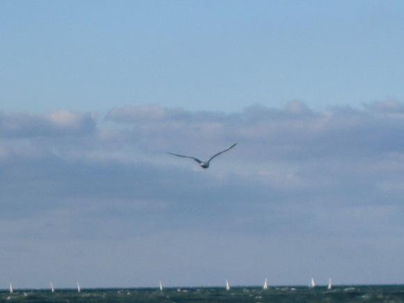 Seagul over Lake Michigan